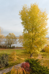 tree with golden leaves in autumn