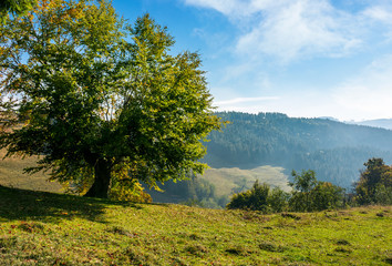 tree on a slope in hilly countryside. beautiful nature scenery in early autumn