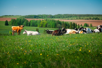 Wall Mural - Cows relaxing on a spring meadow with green grass
