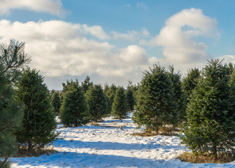 Christmas tree farm in rural America.