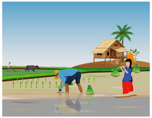 farmer transplant rice seeding in paddy field vector design