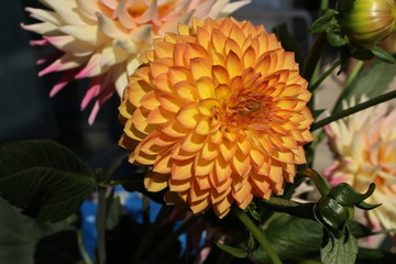 Yellow ball dahlia flower