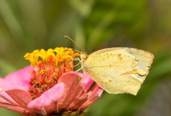 Eurema mexicana, Mexican yellow butterfly feeding on a pink Zinnia flower