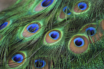 Peacock feathers. closeup. 01