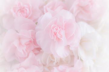 Fototapeta Pink Carnation Flowers Bouquet on light pink background. soft filter.