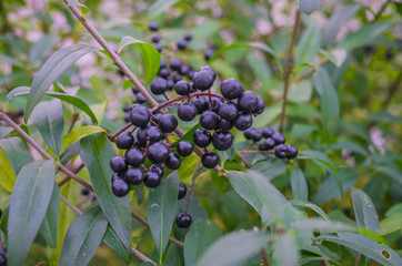 Black forest inedible berries in late autumn on a bush in the forest.
