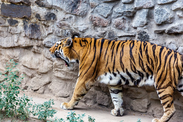 Ussuri Bengal tiger in a cage zoo created natural habitat. Wild predatory mammals in the summer park. Large predatory cats. Motion blur. Selective focus