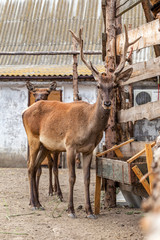 Deer hunting in the paddock on a farm being treated. Family of deer in the spacious aviary zoo