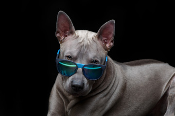 beautiful thai ridgeback dog in sun glasses