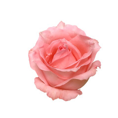 Pink rose isolated white background