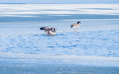 Canadian geese are stoping by a lake on their way migrating to the south