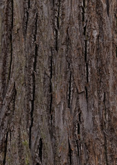 linden - bark texture of an old tree in the forest