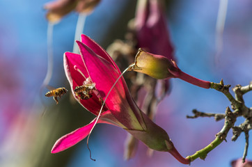 Honey bee taking nectar from pink flower