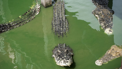 Alligator and crocodile