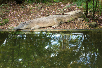 Saltwater crocodile in the farm