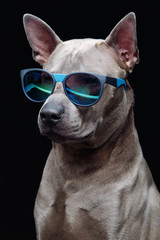 beautiful thai ridgeback dog in sun glasses