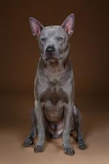 beautiful blue thai ridgeback dog