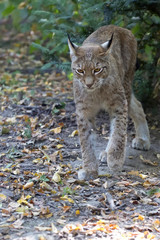 Lynx in the forest in the run