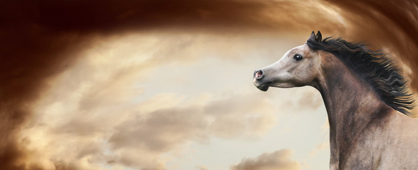 Thoroughbred arabian horse running at awesome  dramatic sky background. Horse head with developing mane, banner or template
