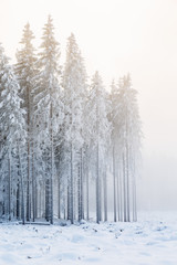 Coniferous forest in winter with cold fog