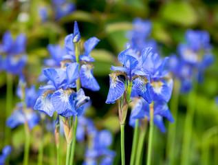 iris blueflag flowers