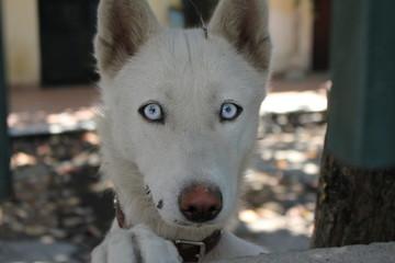 Cane bianco con occhi chiari