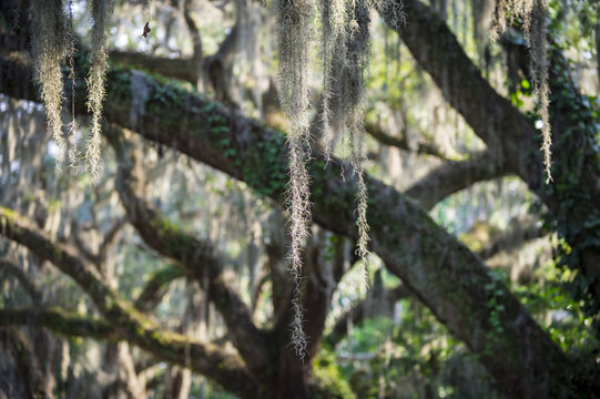 Romantic view of Spanish moss hanging from the branches of a mighty oak tree in the American South