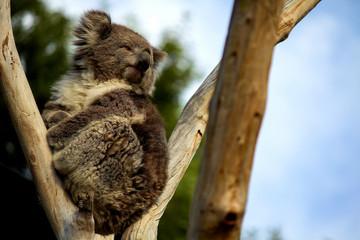 koala calm sitting in a tree