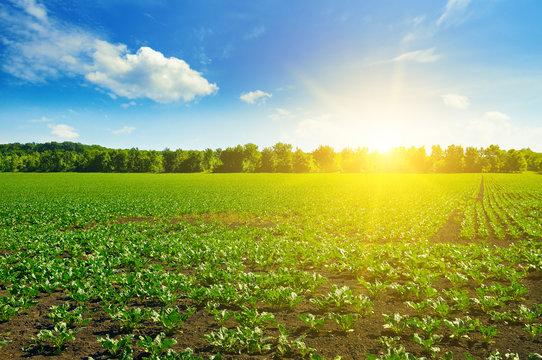 green beet fields and blue sky