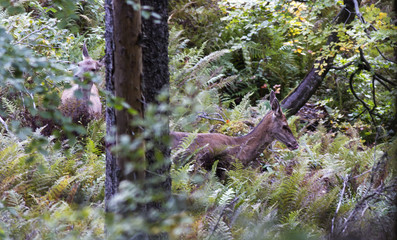 Red deer in nature - dense forest of the Carpathians