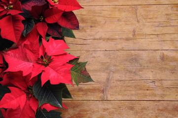 Euphorbia pulcherrima Noche Buena Mexican flame leaf Lalupatae Christmas star Stella di Natale Winter rose Poinsettia 一品紅 Atatürk çiçeği Αλεξανδρινό Božićna zvijezda Weihnachtsstern بنت القنصل Pflanze