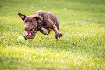 Brown Dog Chasing Ball