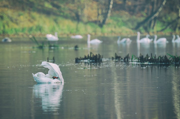 SWANS - Wild birds on a lake in the morning