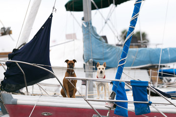 Australian dingo and boxer at sailboat. Dog live aboard. Marina. Pet