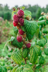 organic ripe red raspberries on the bush, cultivation, garden,food
