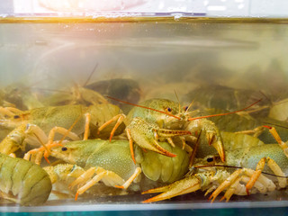 Live crayfish in aquarium. Delicious crustaceans seafood in muddy waters. Crawfish move their claws and feelers move. Environmentally friendly arthropods behind the glass at grocery hypermarket