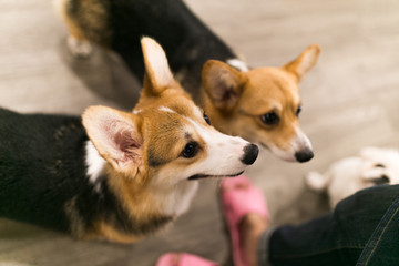The welsh corgi in animal cafe. Small, cute dog