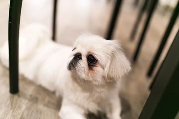 White pekingese with sad black eye at dog cafe