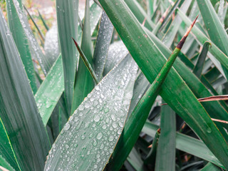 Raindrops on leaves of ornamental plants / Decorative plant with sharp green leaves in rainy weather