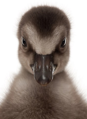 Close-up of Hawaiian Goose or Nēnē, Branta sandvicensis, a species of goose, 4 days old, in front of white background