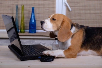 Beagle dog on the table with laptop