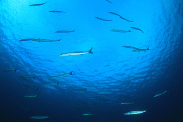 School of Barracuda fish underwater