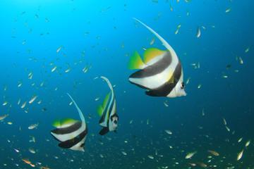 Fish in sea. Longfin Bannerfish tropical fish.