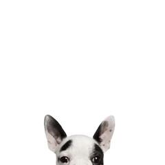 Portrait of French bulldog, studio shot