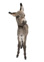 Fotobehang Ezel Portrait of donkey foal, 2 months old, standing against white background, studio shot