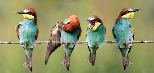 A flock of European bee-eater sitting on a branch on a beautiful background