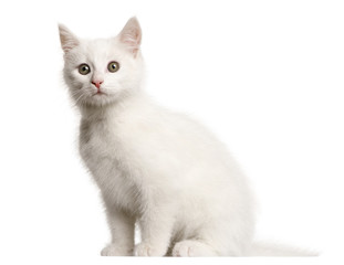 White kitten crossbreed cat, 3 months old, sitting in front of white background