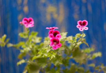 Blossoming pink geranium on a wooden background Shabby Chic