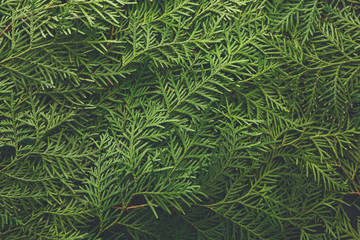 Green thuja tree branches background