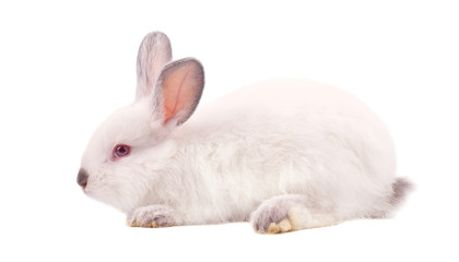 Pretty white fluffy Bunny isolated on white background. White rabbit isolated